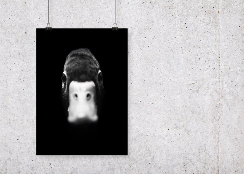 Duck plakat, miljø, beton, clips, snore, mockup